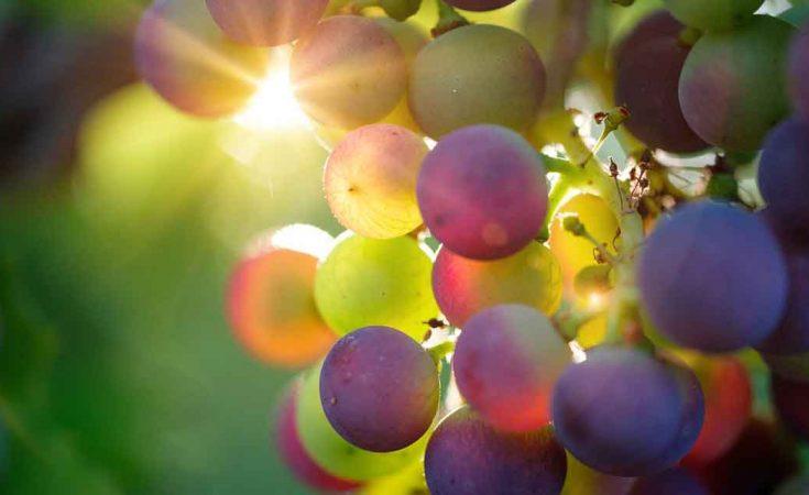biologische wijn druiven