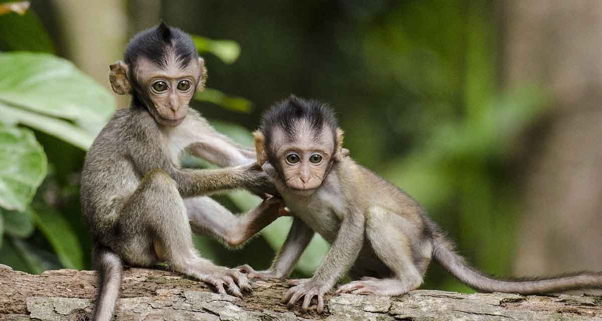 dierproeven op apen