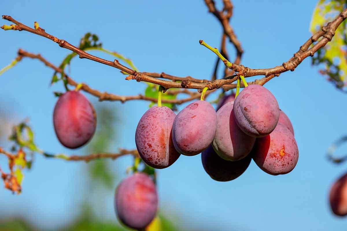 pruimenboom als duurzaam cadeau