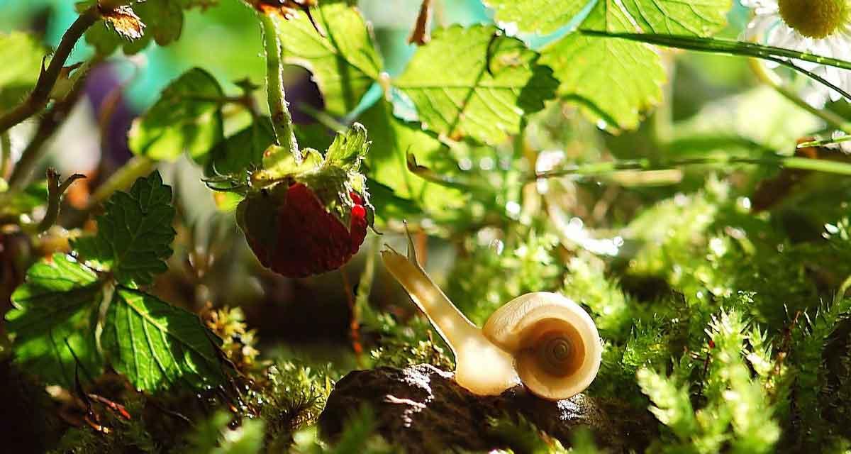 zelf biologische aardbeien kweken