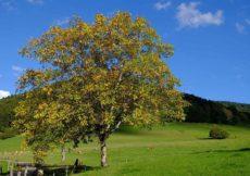 plant een walnootboom